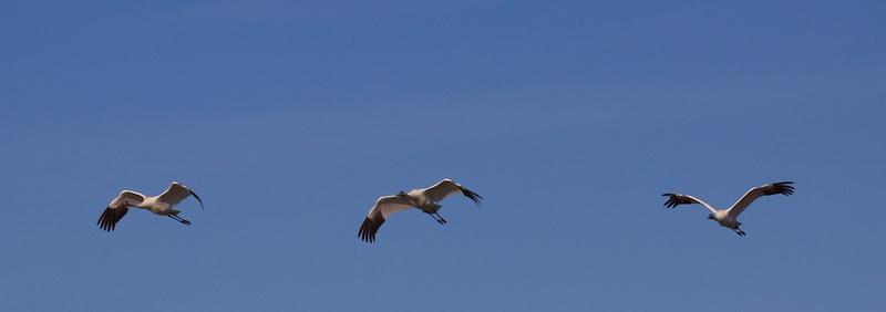 Whooping Cranes Goose Island, TX