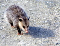 Possum, Lake Apopka, FL