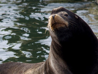 OR-Astoria Sea Lions